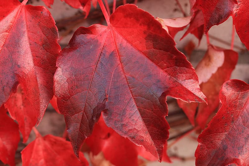 Red and black maple leaf