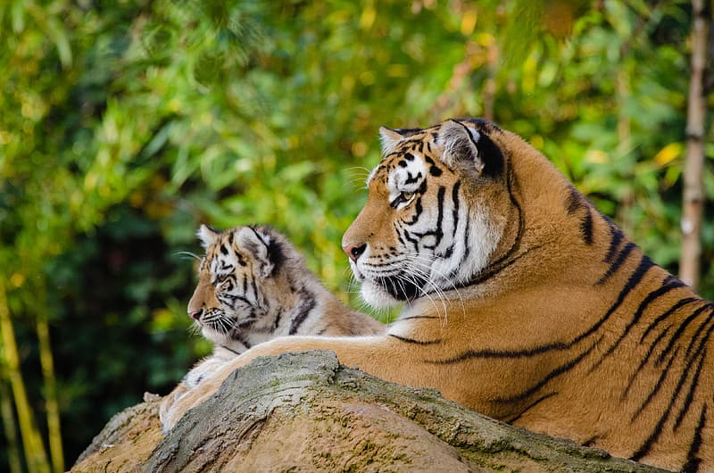 Siberian Tiger Mom with Cub, two tigers