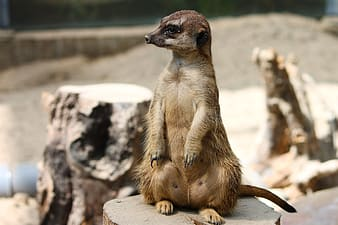 Brown and white meerkat on gray rock during daytime