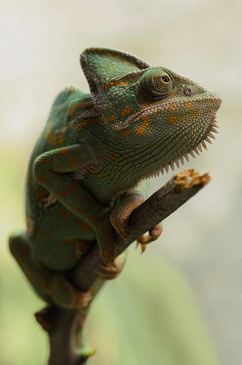 Green chameleon in closeup photography
