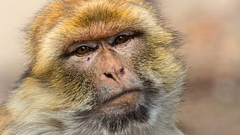 Brown and white monkey face