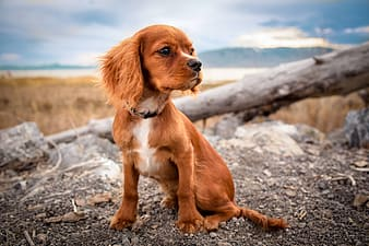Small short-coated tan dog on focus photo