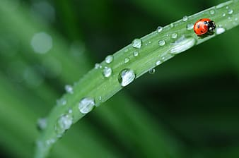 Ladybug on green leaf with water dew