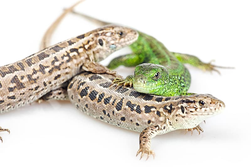 Green and brown lizard on white surface