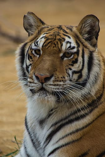 Brown and black tiger lying on ground