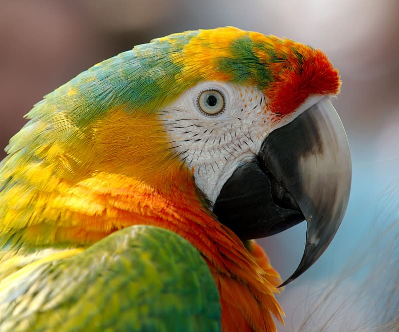 Close up photography of red, green, and yellow macaw