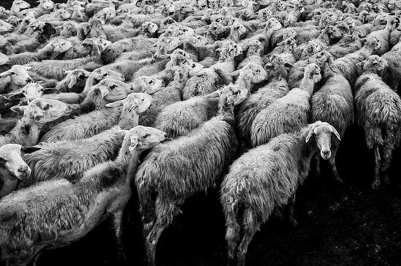 Grayscale photo of sheep