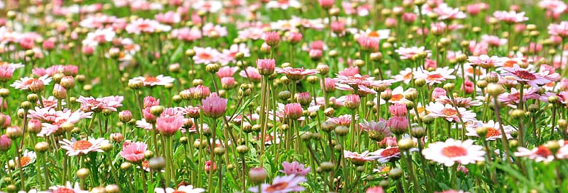 White and pink daisy flowers