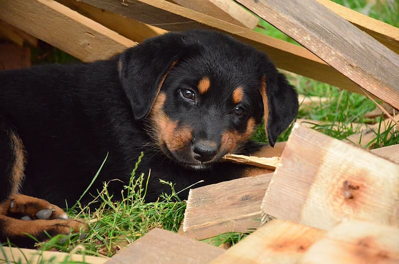 Black and tan Rottweiler puppy lying on grass