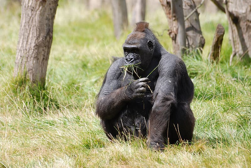 Gorilla sitting on grass field