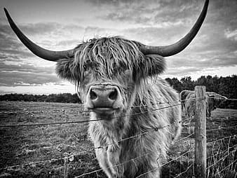 Grayscale photo of highland cattle on grass field