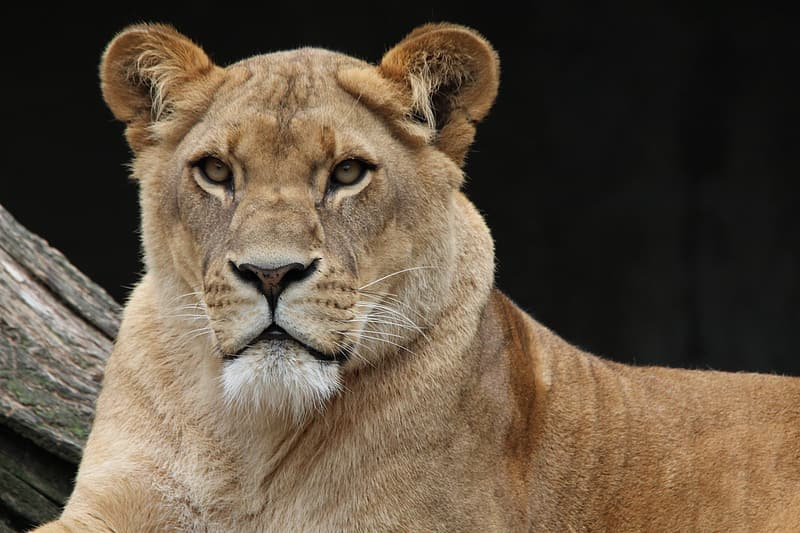 Close-up photography of brown lioness