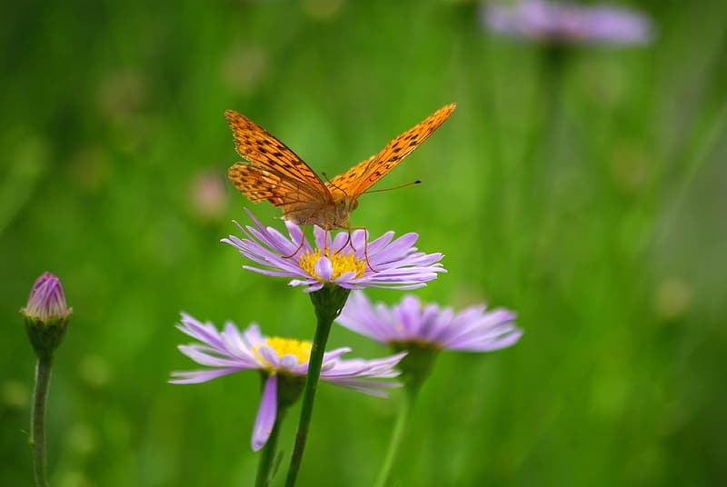 Close up photo of gulf fritillary butterfly perched on pink flower