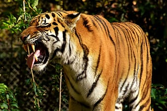 Close-up photo of brown tiger