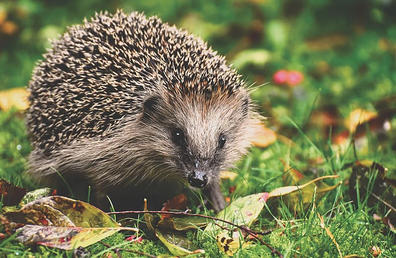 Black and white hedgehog on green and red leaves
