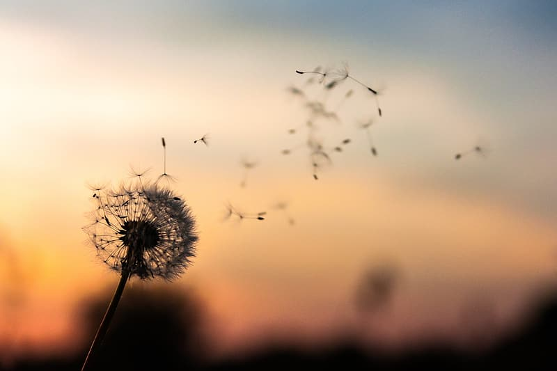 Silhouette of dandelion during sunset