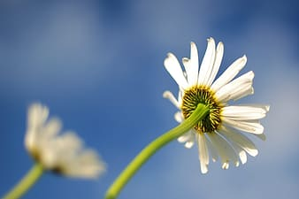 Low-angle photography of white daisy flower