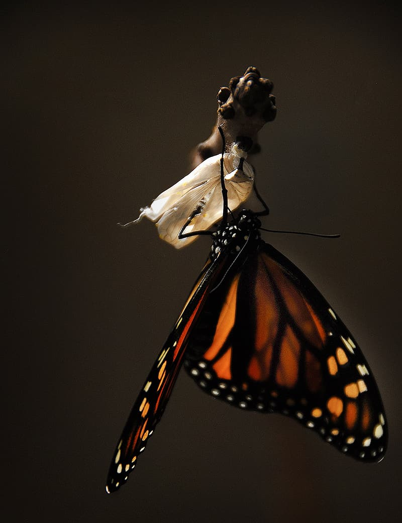 Photo of brown and black butterfly came out from cocoon
