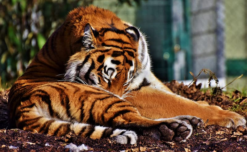Brown and white tiger lying on ground