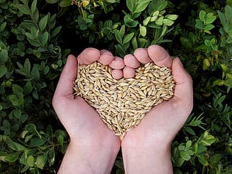 Person holding brown grains