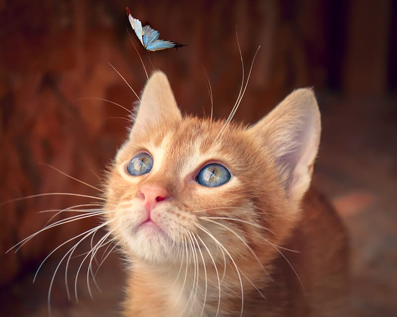 Orange tabby cat with white and blue butterfly on head