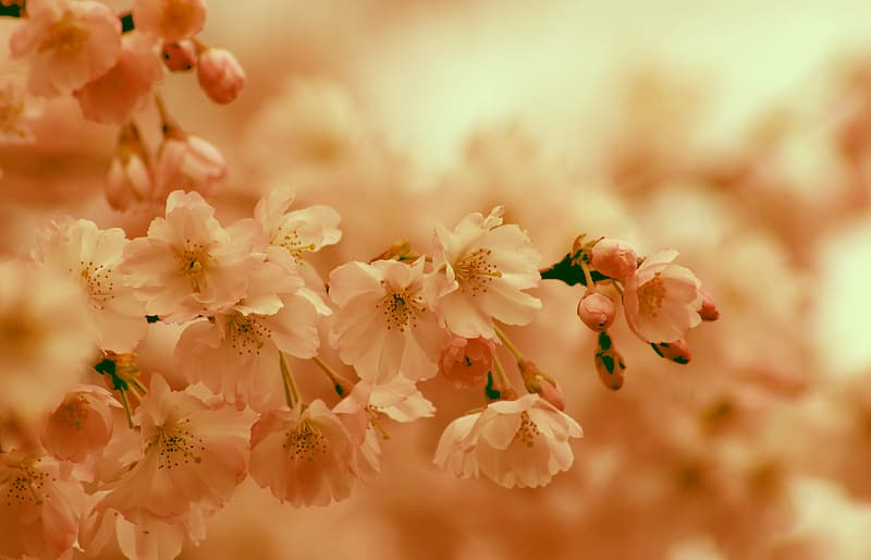 White and pink cherry blossom in bloom during daytime