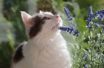 White and black cat on blue flowers