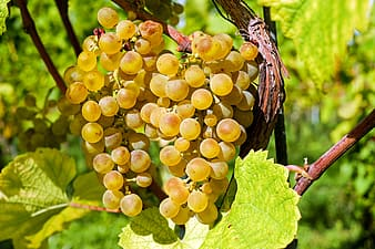 Photography of yellow grapes