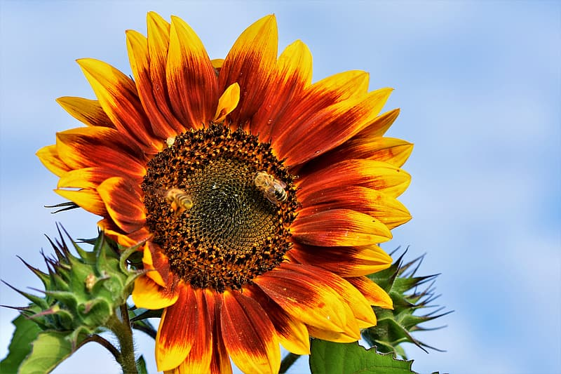 Sunflower in close up photography