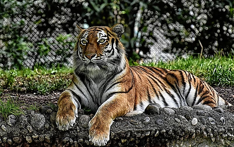 Tiger lying on gray rock during daytime