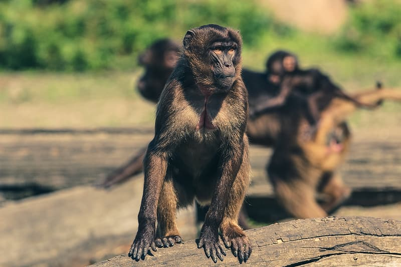 Brown monkey on wood branch