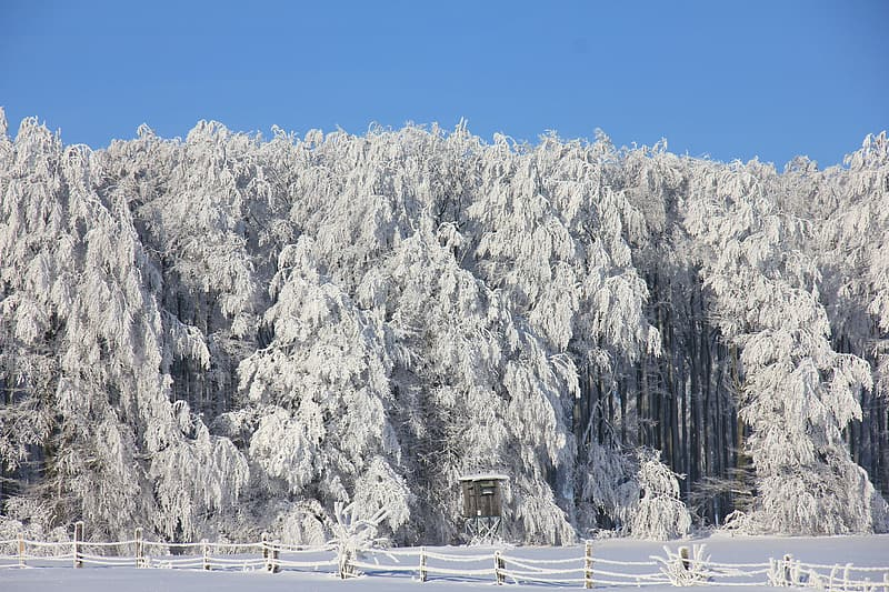Photography of white pine tree lot