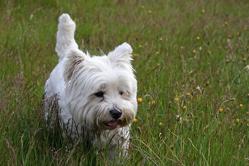 Adult West Highland white terrier on grass field