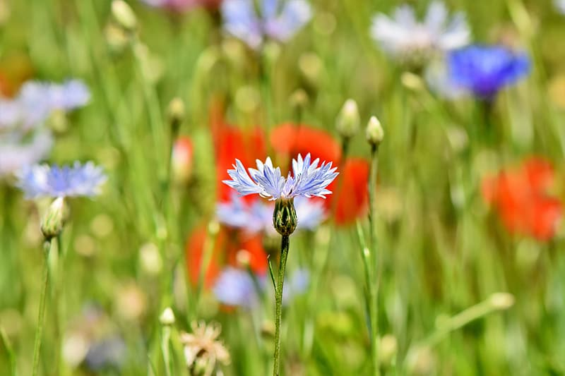 Blue cornflower and red poppy flowers in bloom
