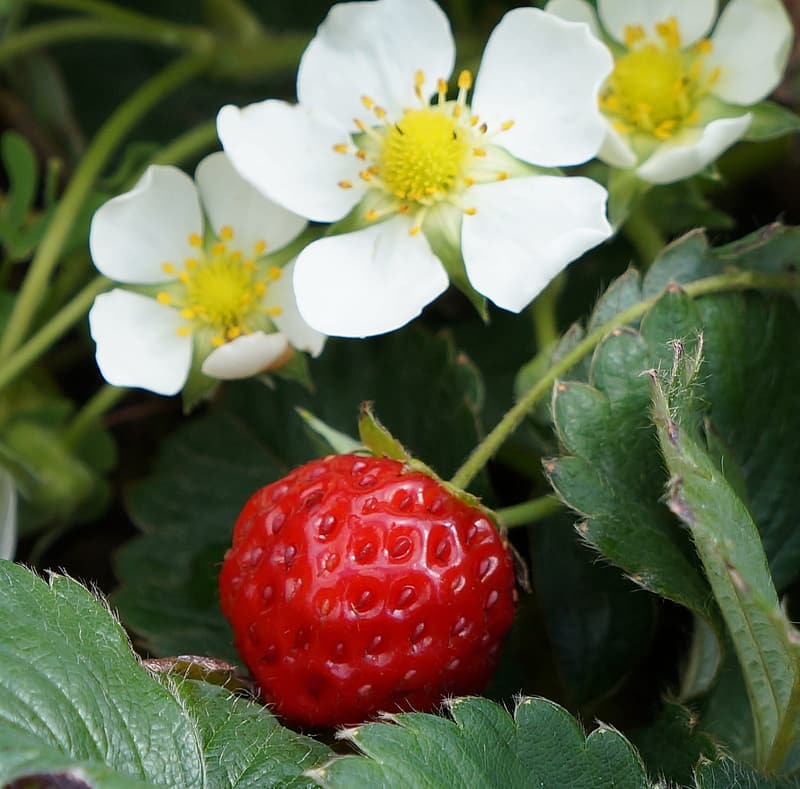 Red strawberry with white flower