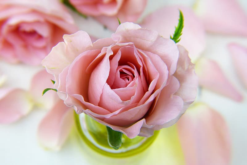 Focus photo of carnation pink rose