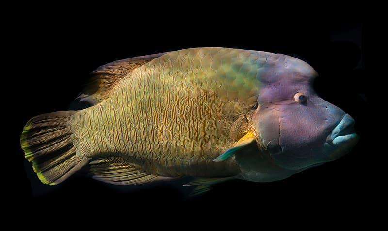 Purple and yellow fish photography