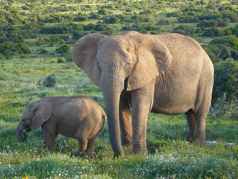 Two gray elephants on green lawn at daytime