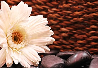 White petaled flower with black stones