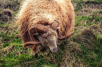 Brown sheep on green grass during daytime