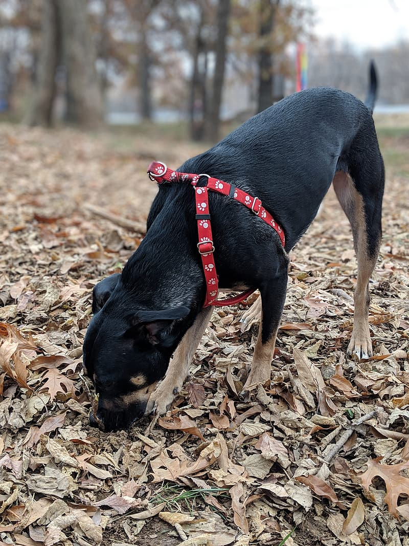 Black and tan short coat medium sized dog with red leash