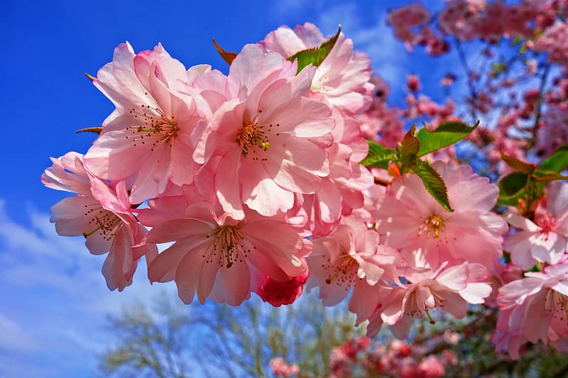 Selective photo of cherry blossoms
