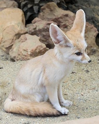 White and beige fennec fox