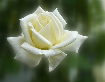 White flower with water dews