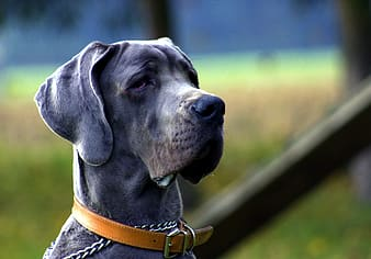Selective focus photography of adult blue great dane