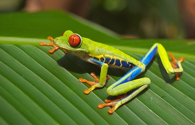 Green and yellow frog on green leaf