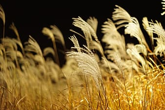 White grain field in shallow focus photography