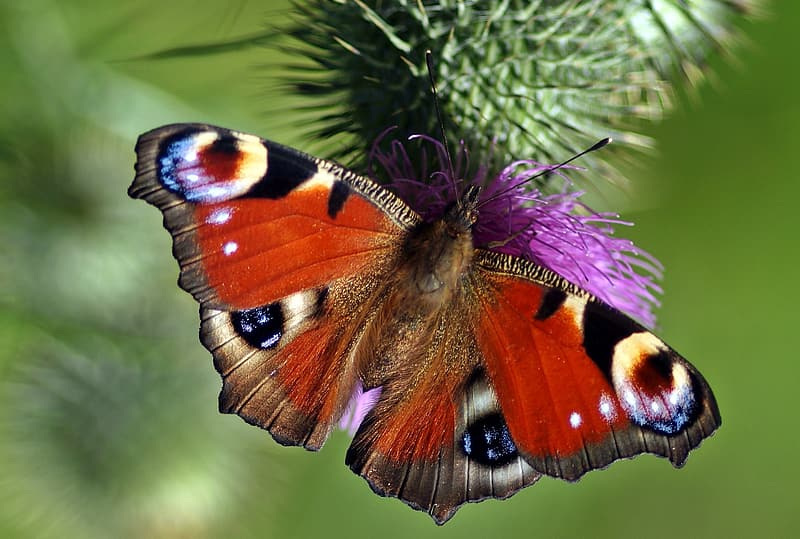 Peacock butterfly perched on purple petaled flower in closeup photography
