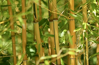 bamboo, grass, bamboo greenhouse, bamboo stalks, bamboo leaves, bamboo rods, nature, plant, leaves, growth