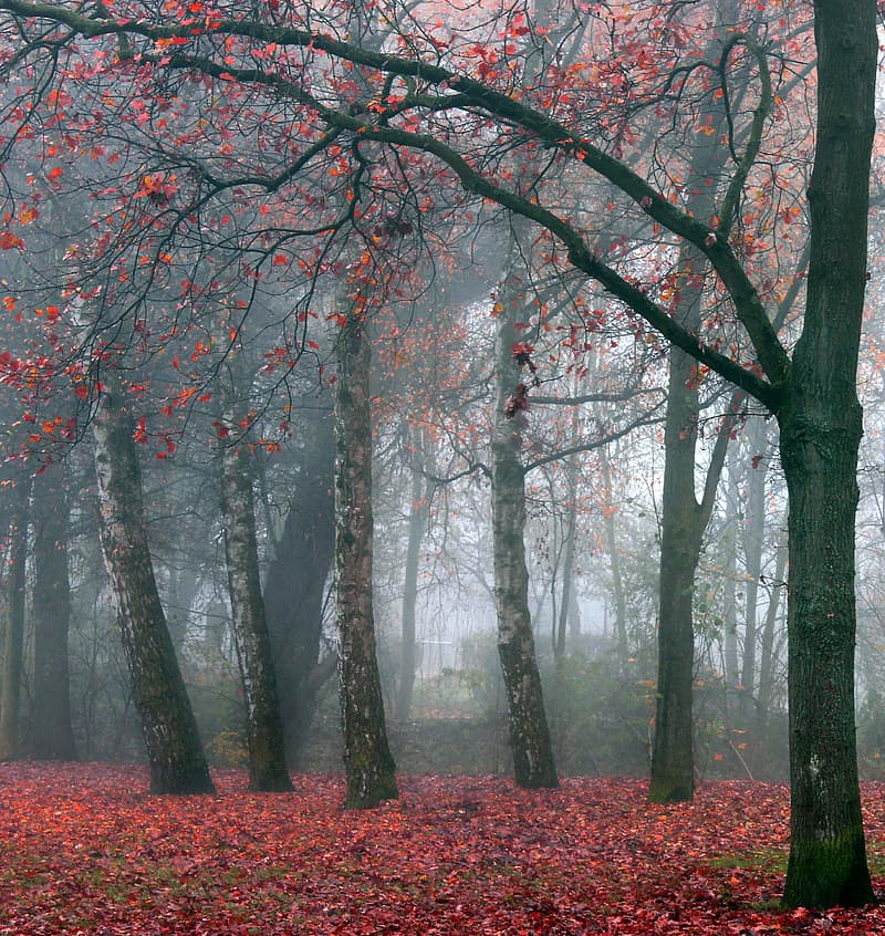 Landscape photo of foggy forest and red leaf trees